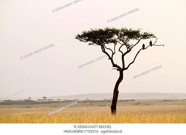 Kenya, Masai-Mara game reserve, tawny eagle (Aquila nipalensis), at sunset