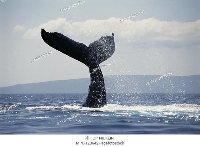 HUMPBACK WHALE (Megaptera novaeangliae), TAIL LOBS, MAUI, HAWAII. NOTICE MUST ACCOMPANY PUBLICATION PHOTO OBTAINED UNDER N.M.F.S. PERMIT #987