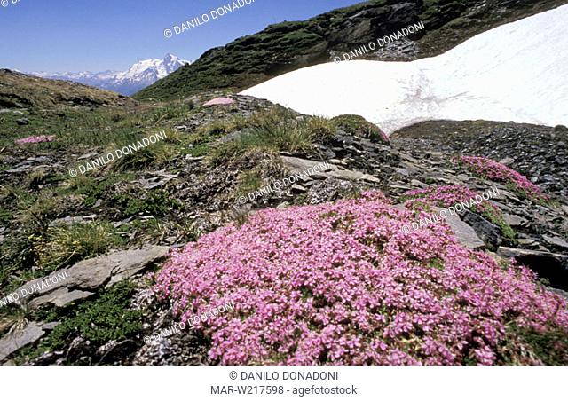 silene acaulis flowers and snowfield, petit saint bernarde, italy