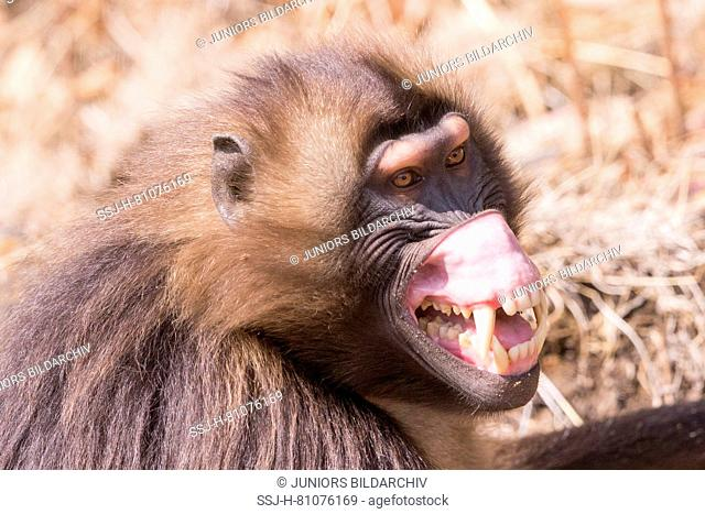 Gelada Baboon (Theropithecus gelada). Male in intimidation posture, roll up the chops to show a large clear spot. Ethiopia