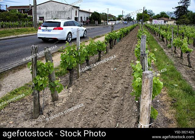 vineyard along the street, Côtes de Bordeaux wine district, Libourne, Gironde, Aquitaine, France