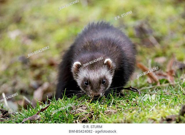 domestic polecat, domestic ferret (Mustela putorius f. furo, Mustela putorius furo), winds a scent in the grass, Germany