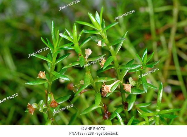 New Zealand Pigmyweed Crassula helmsii - Reggedal, Salland, Overijssel, The Netherlands, Holland, Europe
