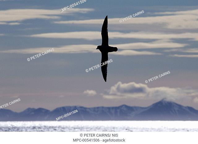 Northern Fulmar (Fulmarus glacialis) flying over ocean, Svalbard, Norway