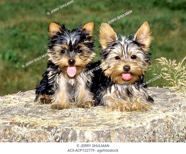 2 Yorkshire Terrier Puppies lying on a tree stump