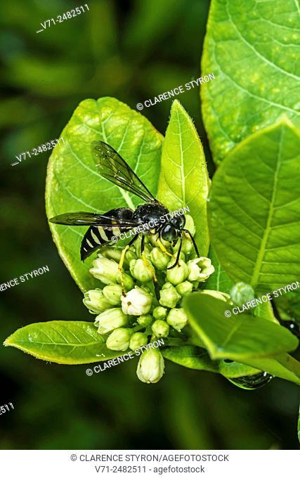 Eastern Sand Wasp (Bembix americana spinolae) Feeding on Indian Hemp (Apocynum cannabinum) Flowers