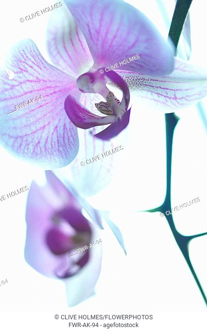 Orchid, Moth orchid, Phalaenopsis, Mauve subject, White background