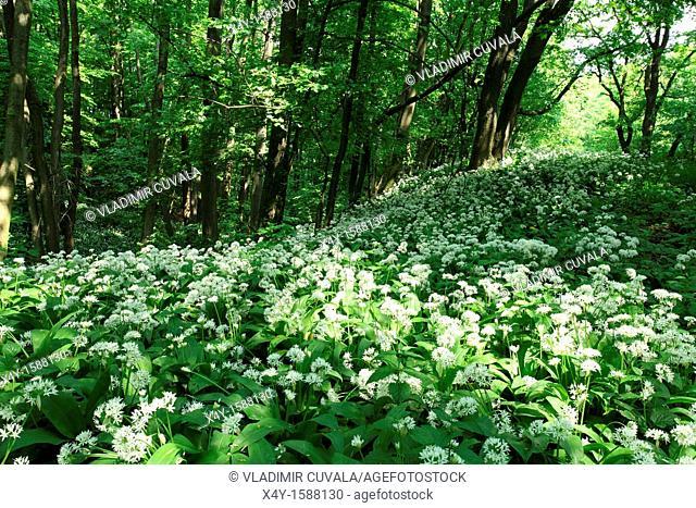 Wild garlic Allium ursinum flowering in the woodlands of Male Karpaty, Slovakia