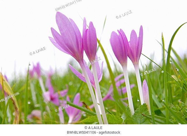 meadow saffron Colchicum autumnale, blooming, Germany, Baden-Wuerttemberg