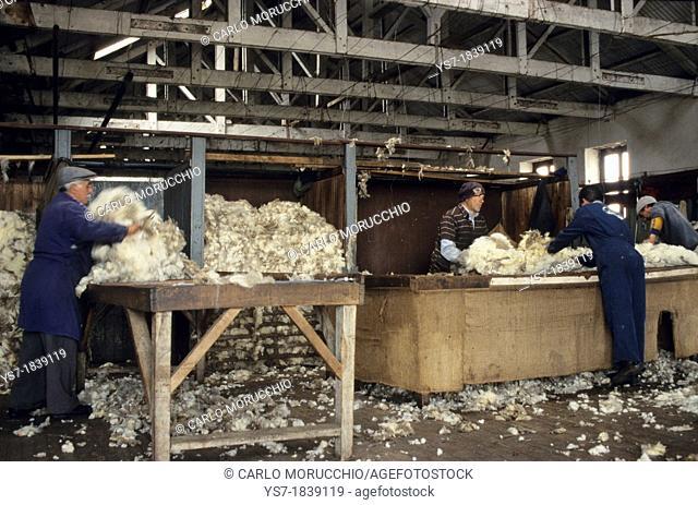 Sheep Shearing in an estancia close to Punta Arenas, Patagonia, Chile, South America