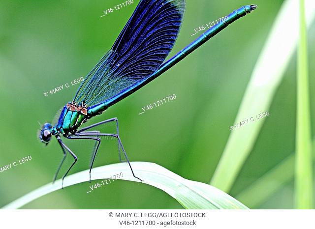 Banded Demoiselle, Calopteryx splendens  Male  Metallic midnight blue  Details of spikes on legs visible  Srbsko, Czech Republic