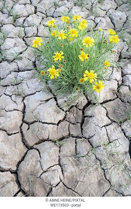Drought cracks in soil and flower blooming nevertheless. Dinosaur Provincial Park, Alberta, Canada