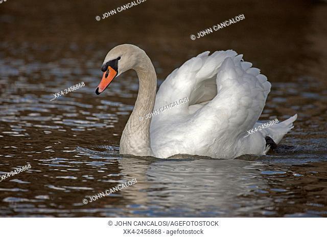 Mute swan, Cygnus olor, England, UK, busking behaviour, minor digital adjustment to background