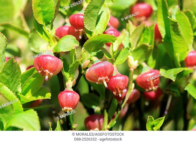 European blueberry Vaccinium myrtillus