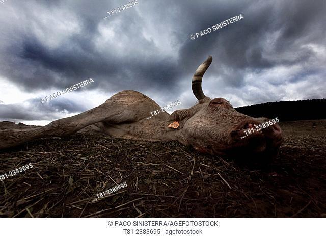 Cow killed by raptors in Teruel, Spain