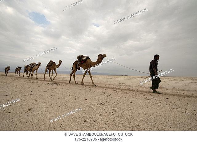 Camel caravans carrying salt through the desert in the Danakil Depression, Ethiopia