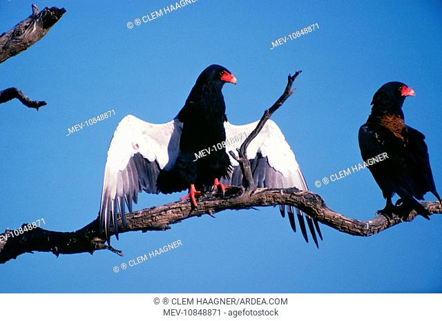 Bateleur Eagle - with wings outstretched sunning itself (Terathopius ecaudatus)