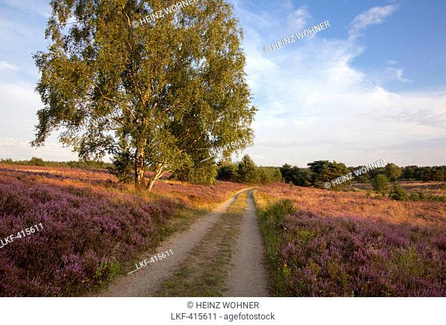 Birch at a path through the heather, Lueneburger Heide, Lower Saxony, Germany