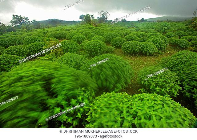 Karvi Plants in Amboli Western Ghat, India