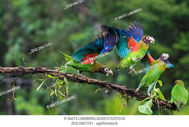 Four Brown-hooded parrot, Pyrilia haematotis, sitting in a tree, one is chasing the others away, at Laguna del Lagarto, Boca Tapada, San Carlos, Costa Rica