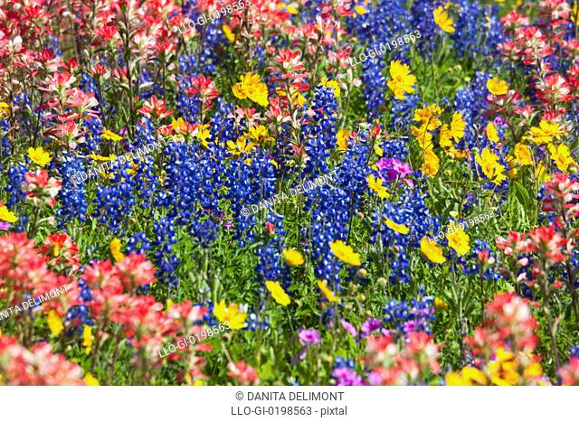 Field of Texas bluebonnets castilleja foliolosa, Indian Paintbrush Lupinus texensis and Crown Tickseed Coreopsis nuecensis, Texas, USA, North America