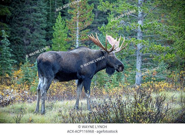 Adult bull moose (Alces alces), Canadian Rockies, Alberta