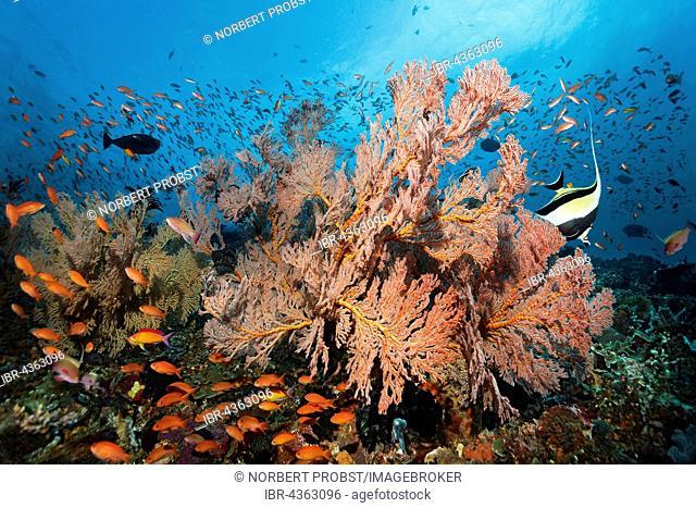 Swarm of various Anthias (Anthiinae) swimming above coral reef, knotted fan coral (Melithaea ochracea), Moorish idol (Zanclus cornutus), Great Barrier Reef