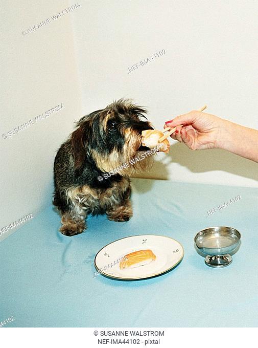 A dog eating sushi Sweden