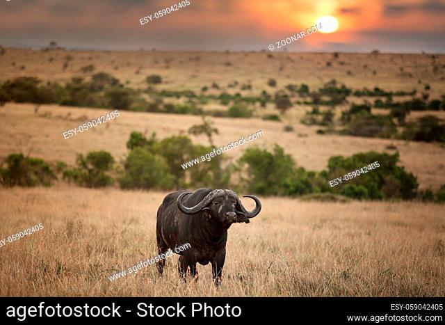 Cape buffalo in the wilderness of Africa