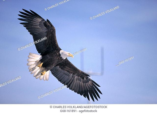 Blad Eagle (Haliaeetus leucocephalus). Kenai Peninsula. Alaska