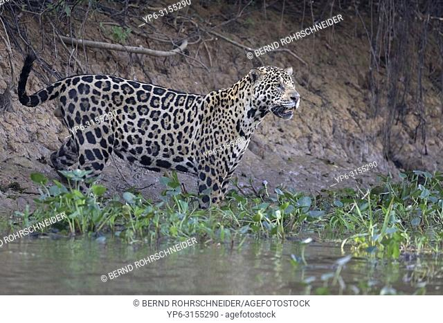 Jaguar (Panthera onca), adult male standing on riverbank, Pantanal, Mato Grosso, Brazil