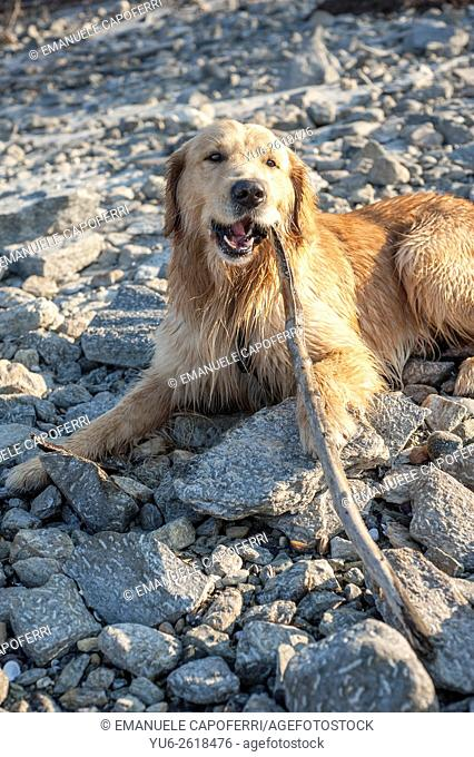 Golden retriever on the beach, Ispra, Lake Maggiore, Italy