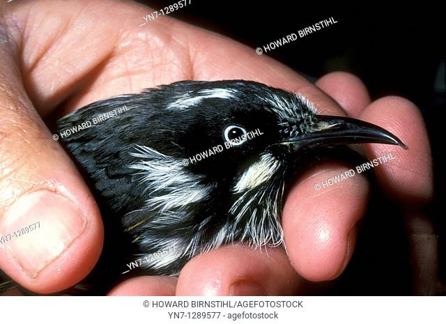 close view of new holland honeyeater in hand