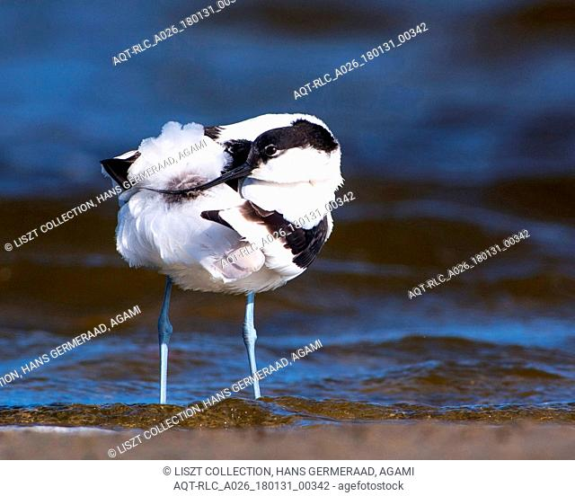 Pied Avocet in water, Pied Avocet, Recurvirostra avosetta