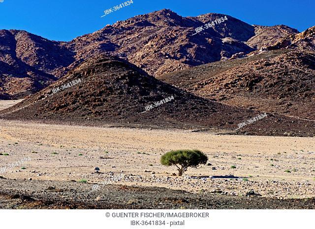 Shepherd's tree (Boscia albitrunca) in a dry valley, Richtersveld Cultural and Botanical Landscape, |Ai-|Ais Richtersveld Transfrontier Park, Northern Cape