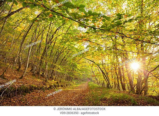 Nature landscape, autumn colors beech forest. Las Merindades County Burgos, Castile and Leon, Spain, Europe