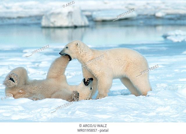 Polar, Bears, playing, Churchill, Manitoba, Canada, Ursus, maritimus, Thalassarctos, maritimus
