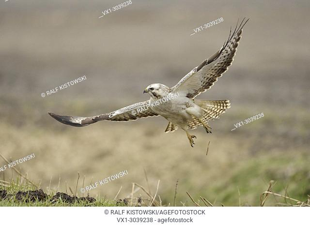 Common Buzzard ( Buteo buteo ), adult white morph, taking off from a field, starts hunting flight