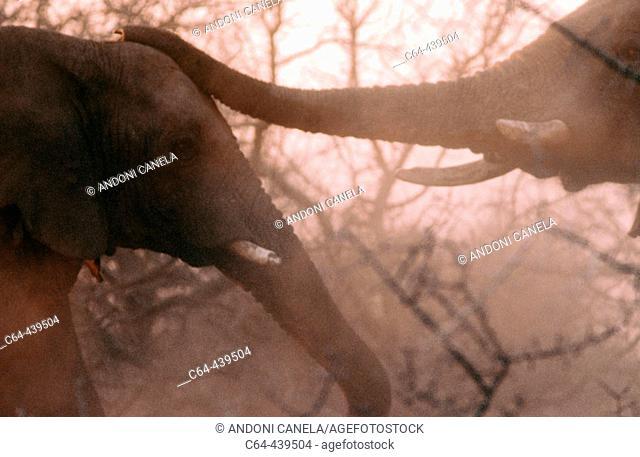 Elephants (Loxodonta africana). Namibia