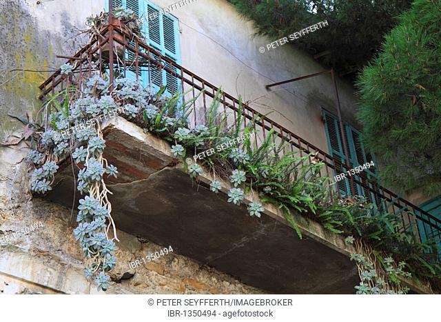 Dilapidated balcony, overgrown with ferns and succulents, historic town centre of Ventimiglia, province of Imperia, Liguria region, Riviera dei Fiori