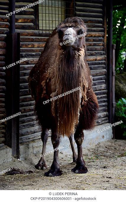 Female of Bactrian camel (Camelus bactrianus) called Marysza is seen in the Olomouc Zoo, Czech Republic, on April 30, 2019. (CTK Photo/Ludek Perina)