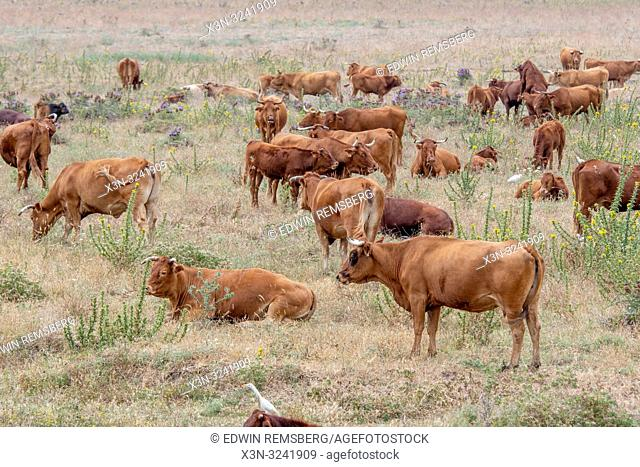 Cattle Grazing Among Land, Tarifa, Cádiz, Andalusia, Spain