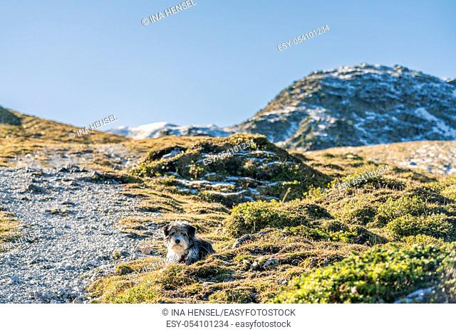 A black and white dog laying on a gravel path on a mountain hiking path in the austrian Alps near the Kemater Alm and Seejoechl