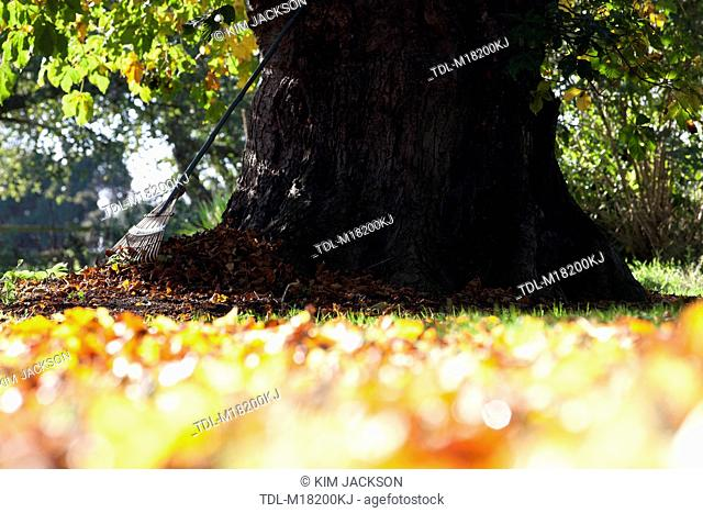 A rake and autumn leaves under a Horse Chestnut tree, cropped