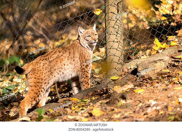close up portrait of Lynx female during the autumn