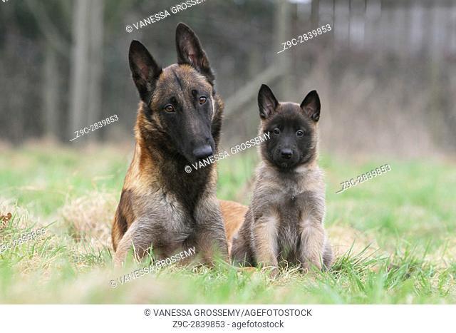 Dog Belgian shepherd Malinois
