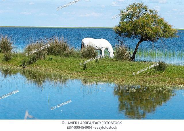 Horse at wetlands. Doñana National Park. Huelva province. Spain