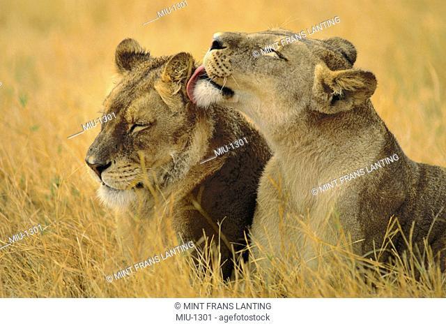 Lionesses grooming, Panthera leo, Chobe National Park, Botswana