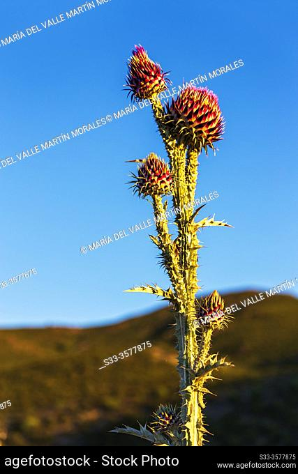Milk thistle (Onopordum illyricum L. ) at Sierra Norte. Madrid. Spain. Europe