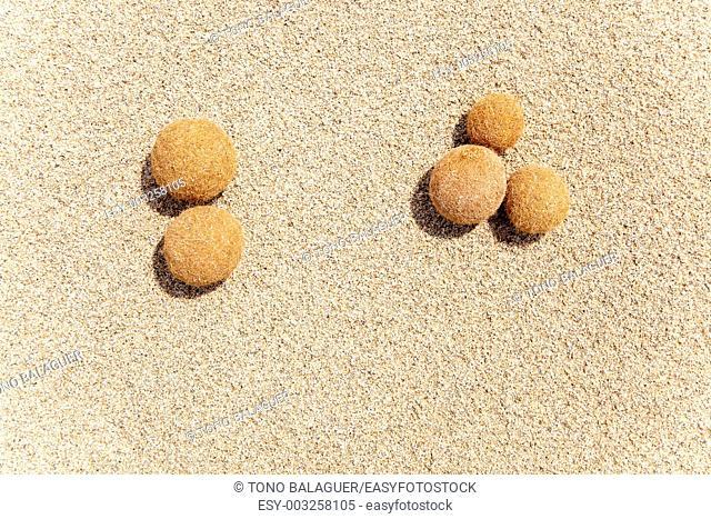 Posidonia oceanica fruits on a mediterranean white sand beach in Balearic islands